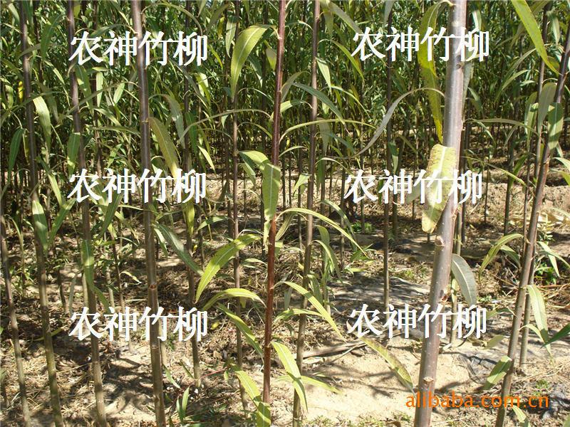 供应北京竹柳、抗寒红皮竹柳 花卉苗木-绿化花木-种子