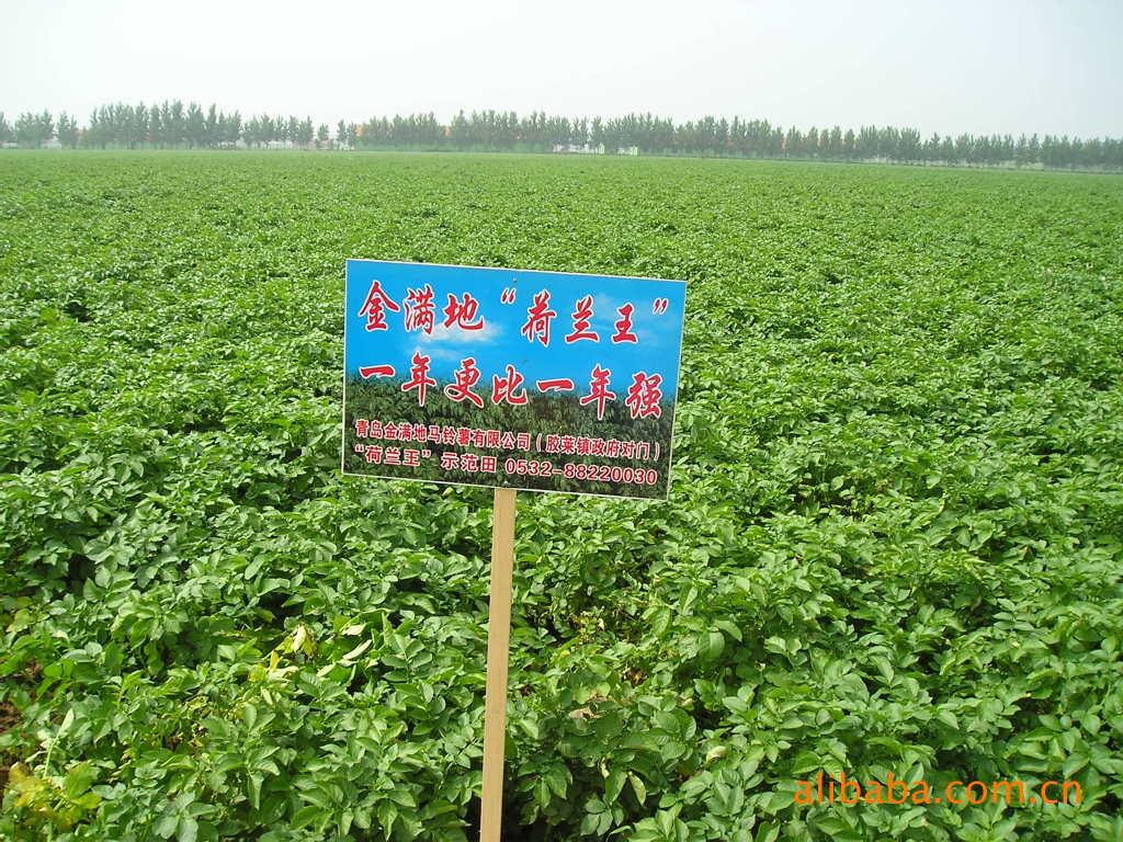 供应内蒙基地繁育脱毒土豆种子——金满地荷兰王