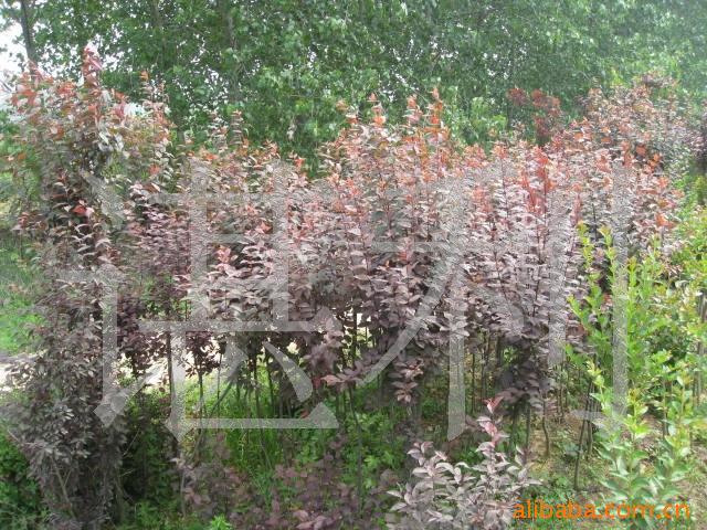 溢芳花卉出售花卉苗木ぐ绿化苗木,紫叶李