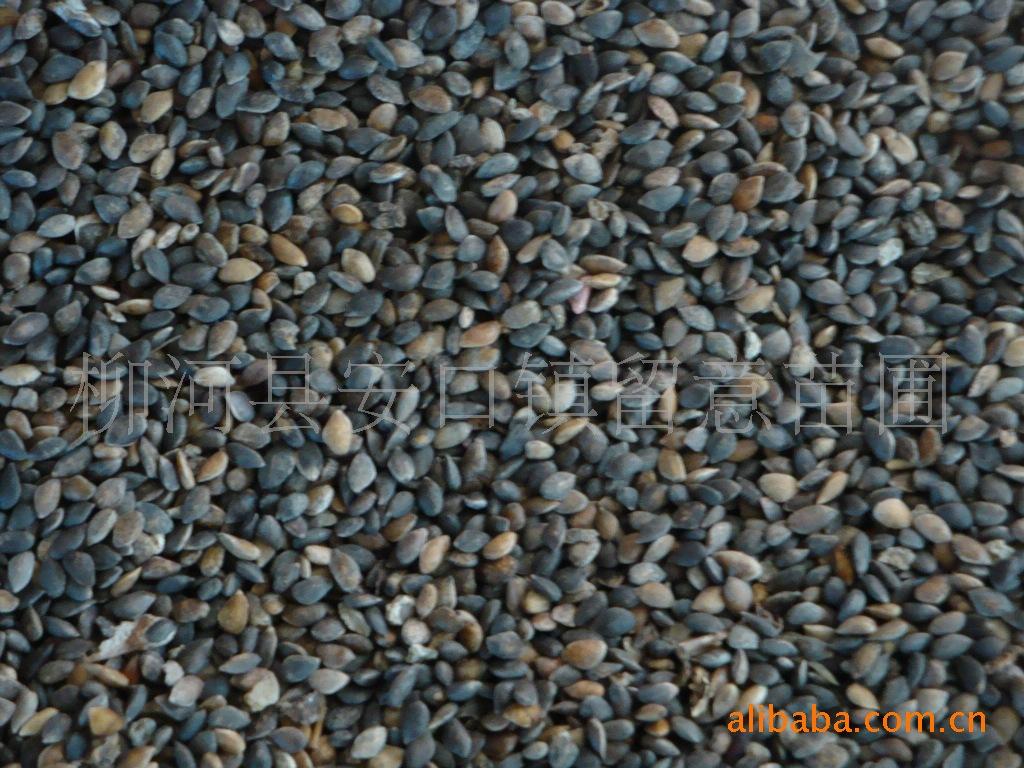 大量供应2011樟子松新种子
