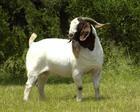 供应小尾寒羊价格、小尾寒羊养殖基地、羊有几个品种