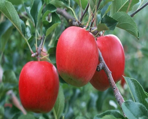 供应烟台苹果 求购烟台苹果 就到松立果品基地