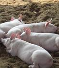 江苏最大养殖基地仔猪种猪场最新的价格行情