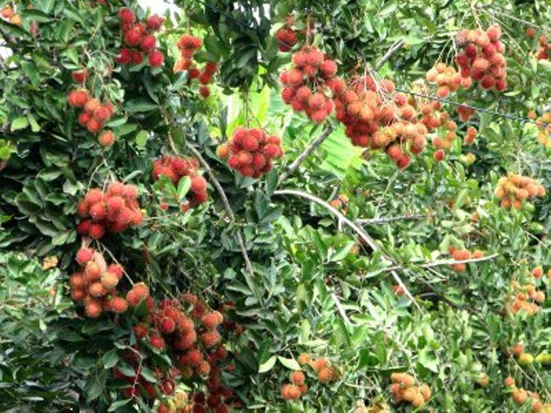 红毛丹施用有机肥的方法