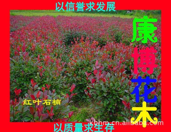 鄢陵康博花木基地专供 红叶石楠 规格齐全