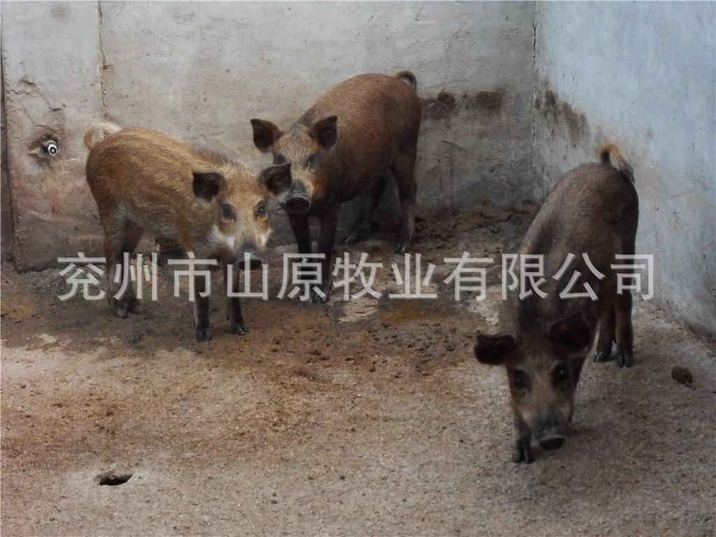 大量供应牧业养殖的优质纯种野猪