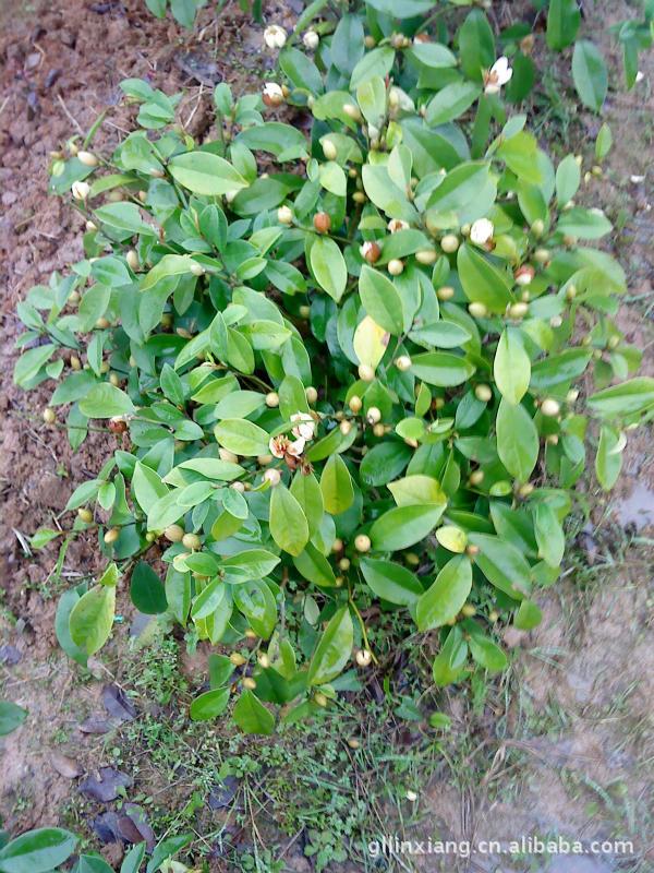 其他园林植物-本场低价v园林木树榄扦插苗,球形博施图片