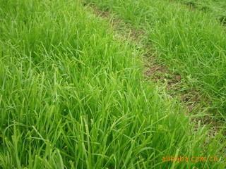 供应 大理 下关 园林 绿化草种 草种 草籽 草坪种子 百喜草