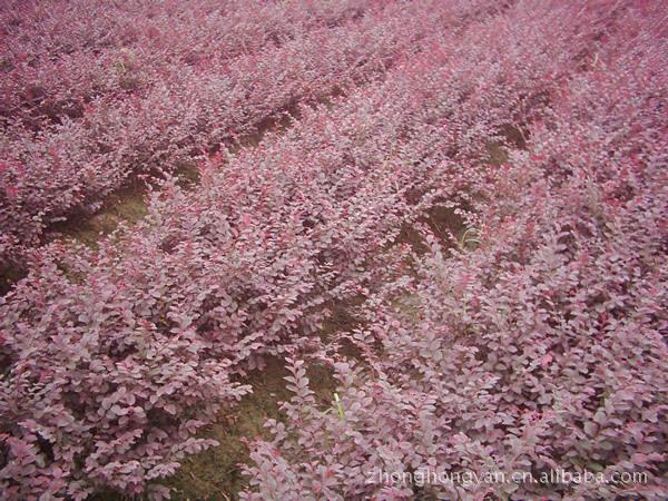 绿化苗木紫叶小檗   金叶女贞,小叶女贞