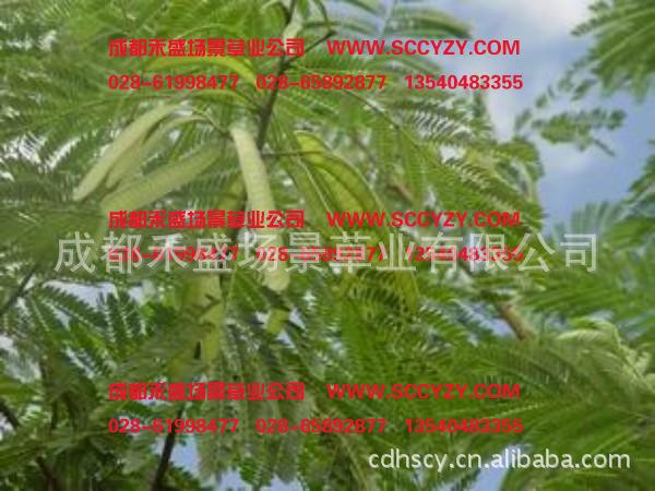 供应银合欢种子 浦江灌木种子 泸州灌木种子 北川灌木种子
