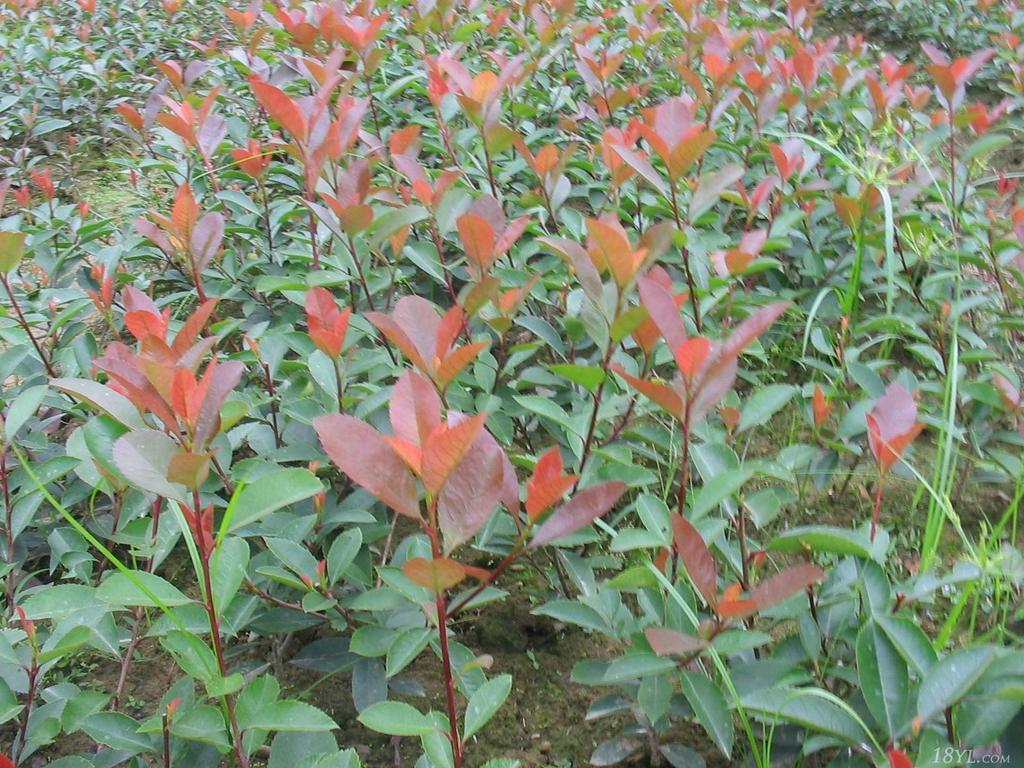 批发供应绿化苗木 红叶石楠小苗 实地看货 看货起苗