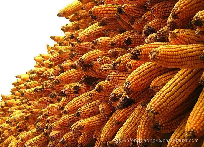 公司长期供应鑫丰688玉米种,各类种子