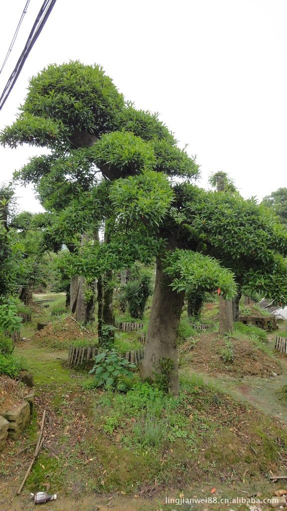 榆树 造型榆树 榆树桩苗木