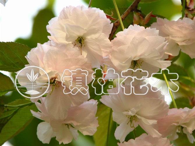 镇柏花木公司供应胸径8-10cm优质精品落叶小乔木 樱花