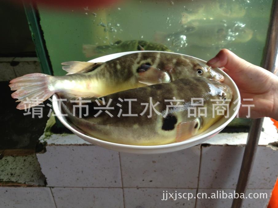 兴江水产 打造一流的河豚鱼销售平台 暗纹东方豚 欢迎来购