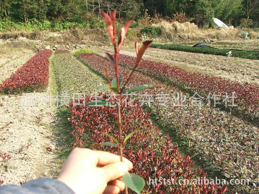 特价 红叶石楠 绿化 工程 苗木 扦插苗15-30公分