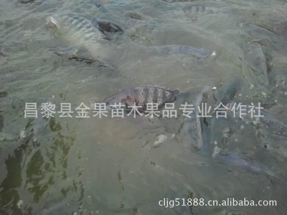 淡水鱼,活鱼,白鲳鱼,罗非鱼-大全价格及生椒盐产销黄做法排条鱼类咸蛋图片