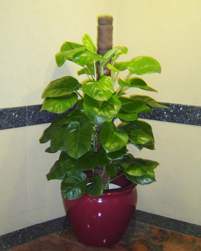盆景-供应 绿萝 绿萝吊兰-盆景尽在阿里巴巴-衡-绿萝柱的养殖