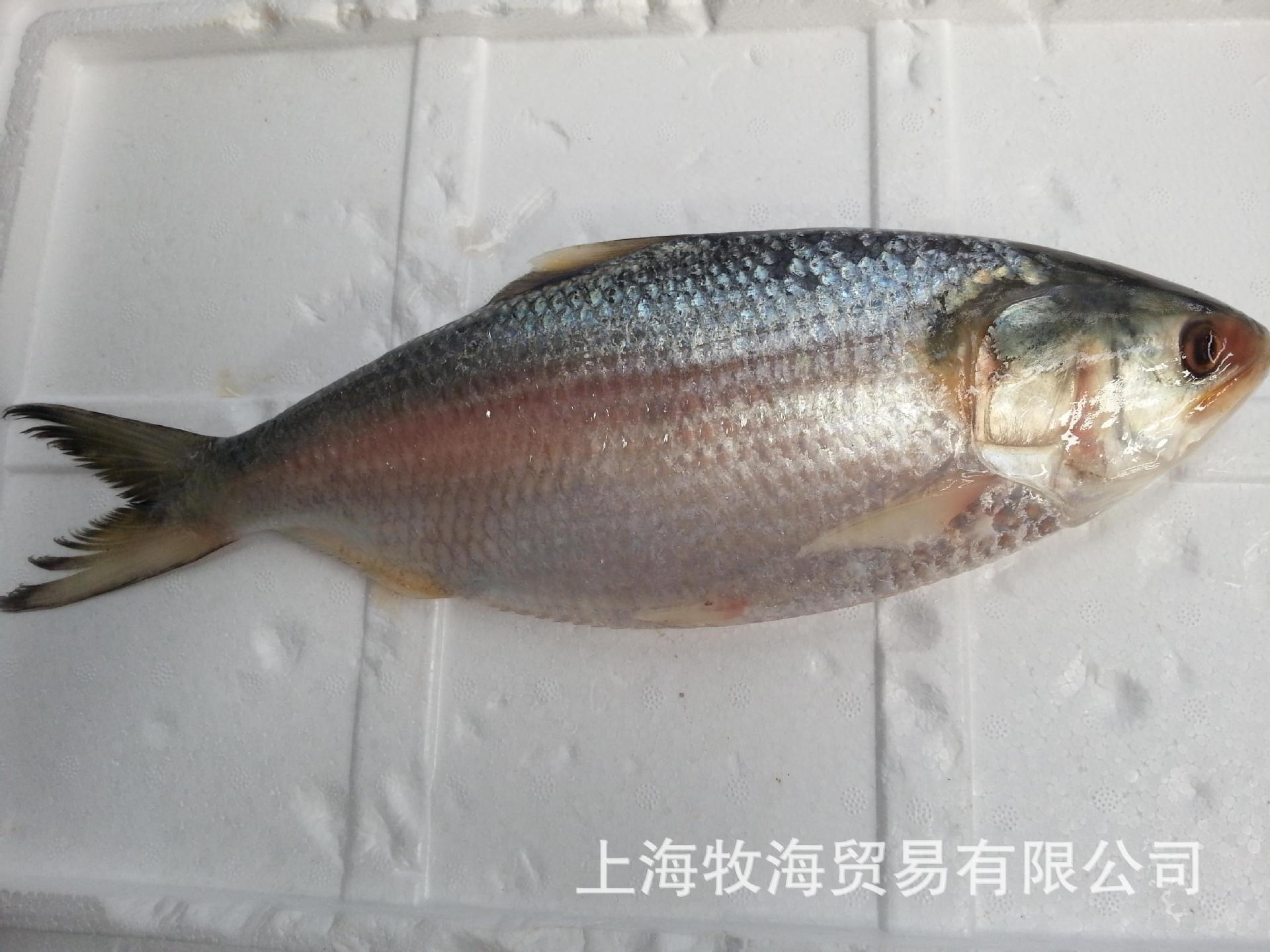 鲥鱼,鲜鱼, 图片_高清大图 - 阿里巴巴