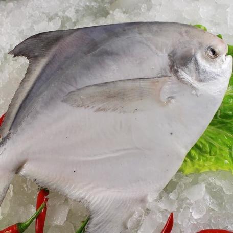 金鲳鱼-v鲳鱼鲳鱼野生金天然、黄立鲳400-600排骨吃晚餐好吗图片