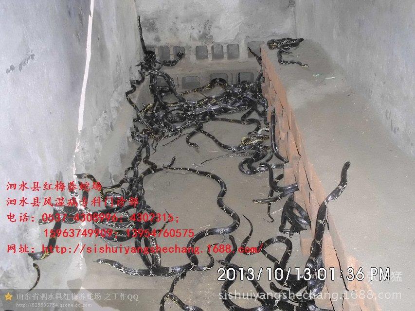 金腹棕黑锦蛇_乡约蛇王蔡淳治养殖棕黑锦蛇的故事附联系方