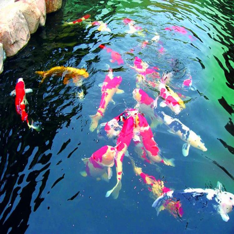 锦鲤鱼放养