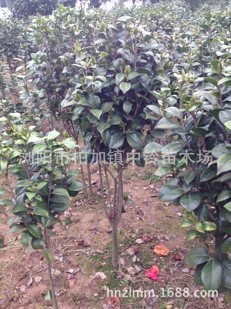 嫁接茶花 长期供应 大型茶花树扦插苗 中铃名贵嫁接茶花 阿里巴巴
