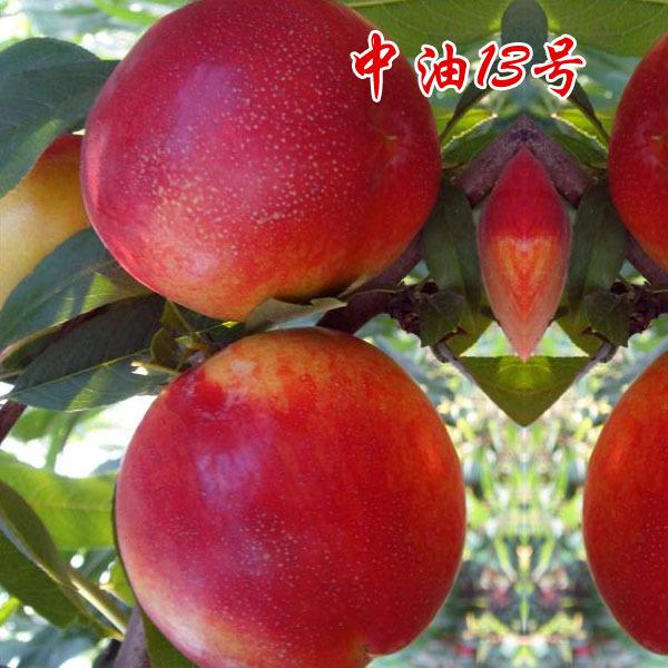 中油13号油桃 早果性极强 自花结果 极丰产 果树易存活